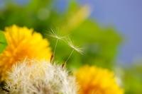 dandelion seeds journey Stock photo [741673] Dandelion