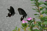 Papilio helenus chasing Stock photo [744052] Papilio
