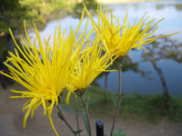 Saga chrysanthemum Stock photo [744438] Chrysanthemum