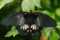 Papilio memnon female Stock photo [745344] Papilio