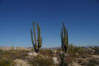 Mexico Baja Peninsula of giant cactus Stock photo [747195] Cactus