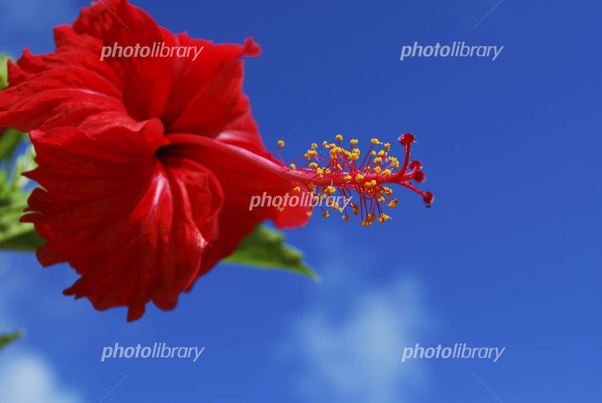 Hibiscus and blue sky Photo