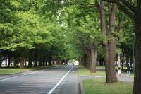 Hokkaido University ginkgo tree-lined Stock photo [799666] Ginkgo