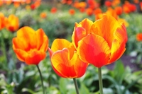 Tulip Stock photo [800440] Red