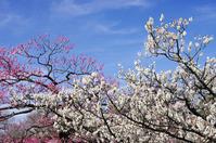 White plum and plum Stock photo [801236] White