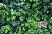 Wakaba and cafe sign of ivy Stock photo [801538] Cafe