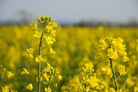In rape field Stock photo [801569] Rape