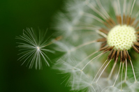 Dandelion seeds Stock photo [801907] Wildflower
