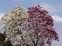 Magnolia liliiflora and Magnolia heptapeta Stock photo [802470] Manglietia