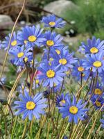 Blue Daisy Stock photo [803157] Blue