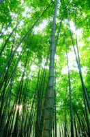 Bamboo Stock photo [803209] Bamboo