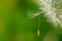Dandelion fluff Stock photo [803495] Seed