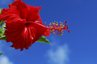 Hibiscus and blue sky Stock photo [804373] Hibiscus