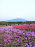 Fuji phlox Festival Stock photo [804826] Fuji