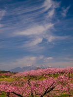 Peach flowers and Sujikumo Stock photo [806078] Peach
