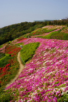Azalea field Shonan Village Stock photo [806225] Azalea