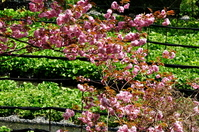 八重桜とわさび田