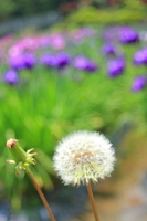 Dandelion and irises Stock photo [807244] Dandelion