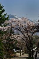 大町温泉郷の桜並木