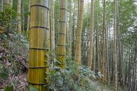 KimuAkira bamboo Stock photo [808756] Bamboo