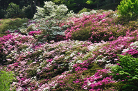 Azalea fields Stock photo [809663] Azalea