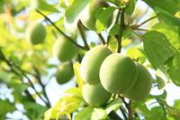 Green plum Stock photo [810157] Plum