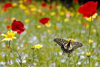 Swallowtail Stock photo [811763] Swallowtail