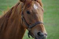Chestnut thoroughbred Stock photo [813245] Horse