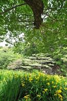 Iris pseudacorus and fresh green Stock photo [814186] Ota