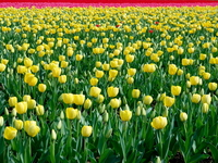 The red dot of Cho lip field Stock photo [815675] Tulip