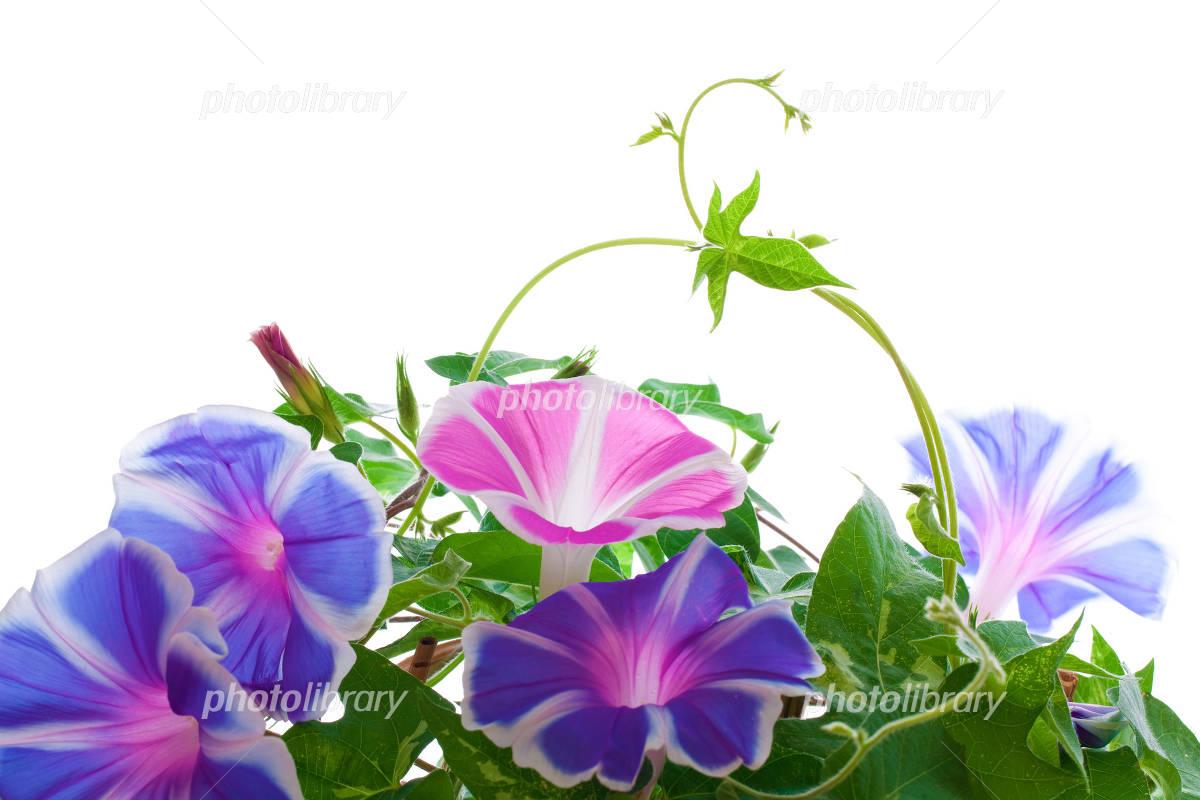 Full bloom of morning glory Photo