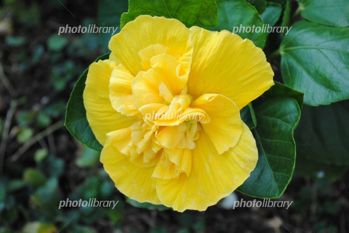 Double flower hibiscus Photo