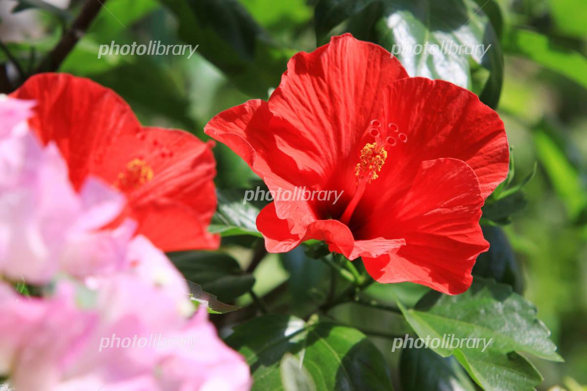 Hibiscus and Bougainvillea Photo