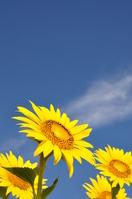 The sunflower on blue sky Stock photo [971231] Zama