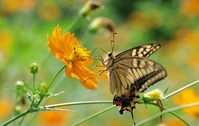 Swallowtail butterfly and Cosmos sulphureus Stock photo [971525] Swallowtail