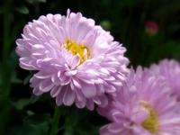 Chrysanthemum Stock photo [971968] Chrysanthemum