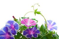 Full bloom of morning glory Stock photo [973872] Morning