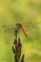 Red dragonfly Stock photo [975316] Red