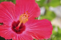 Hibiscus Stock photo [976012] Hibiscus