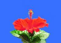 Hibiscus Stock photo [977870] Hibiscus