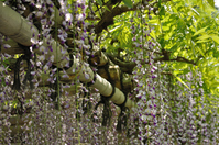 Wisteria Stock photo [980367] Wisteria