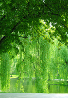 Willow landscape of drip in Boston Common park pond Stock photo [980523] Beautiful