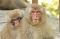 Japanese monkey Stock photo [983189] Japanese
