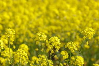 Rape field Stock photo [983692] Rape