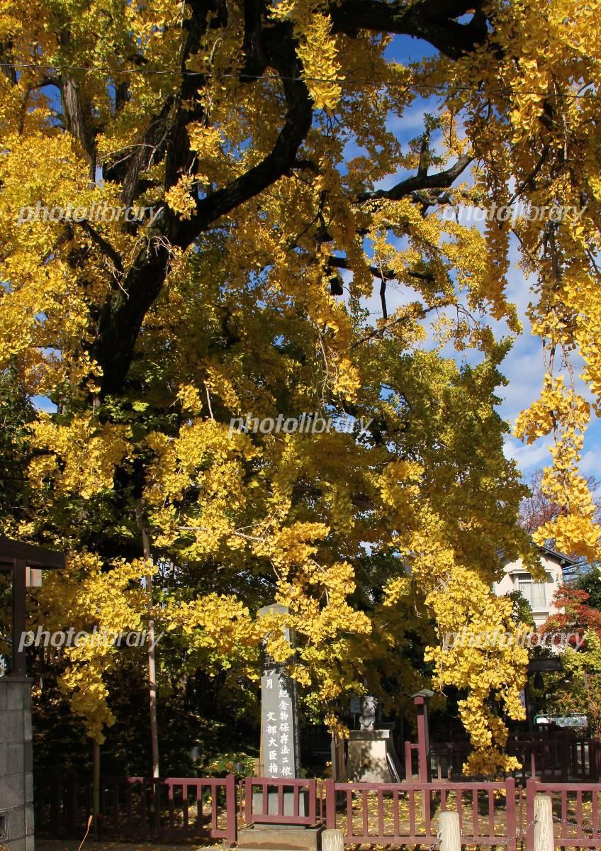 上沢寺のお葉つき銀杏の写真素材 無料 フリー