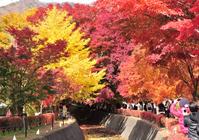 Kawaguchiko maple corridor Stock photo [1082881] Maple