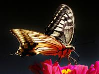 Background black swallowtail Stock photo [1083370] P.