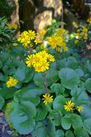 Farfugium japonicum Stock photo [1084143] Farfugium