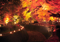 Kawaguchiko maple corridor light up Stock photo [1084869] Maple