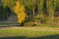 Maidenhair tree and bamboo forest Stock photo [1085078] Satoyama